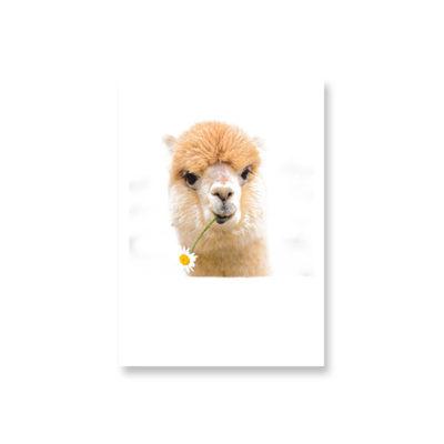 POSTKARTE Alpaca